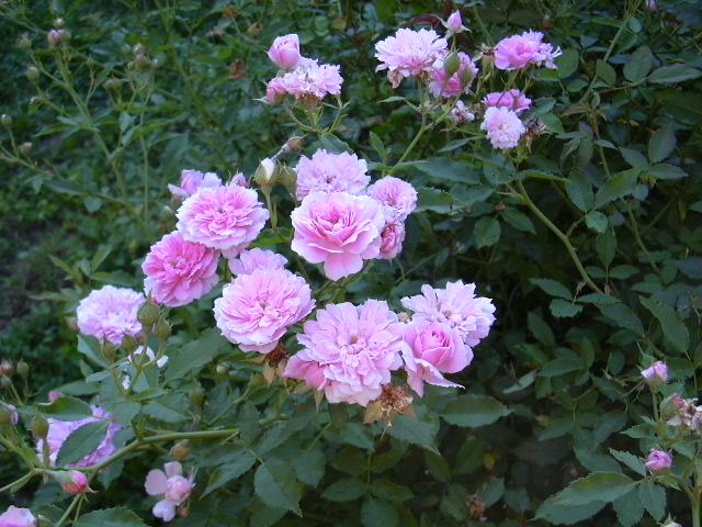 caldwell-pink4