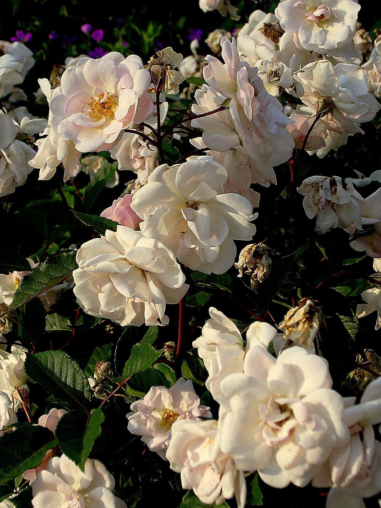 On Thorns And Thornless Rose Recommendations The Lazy