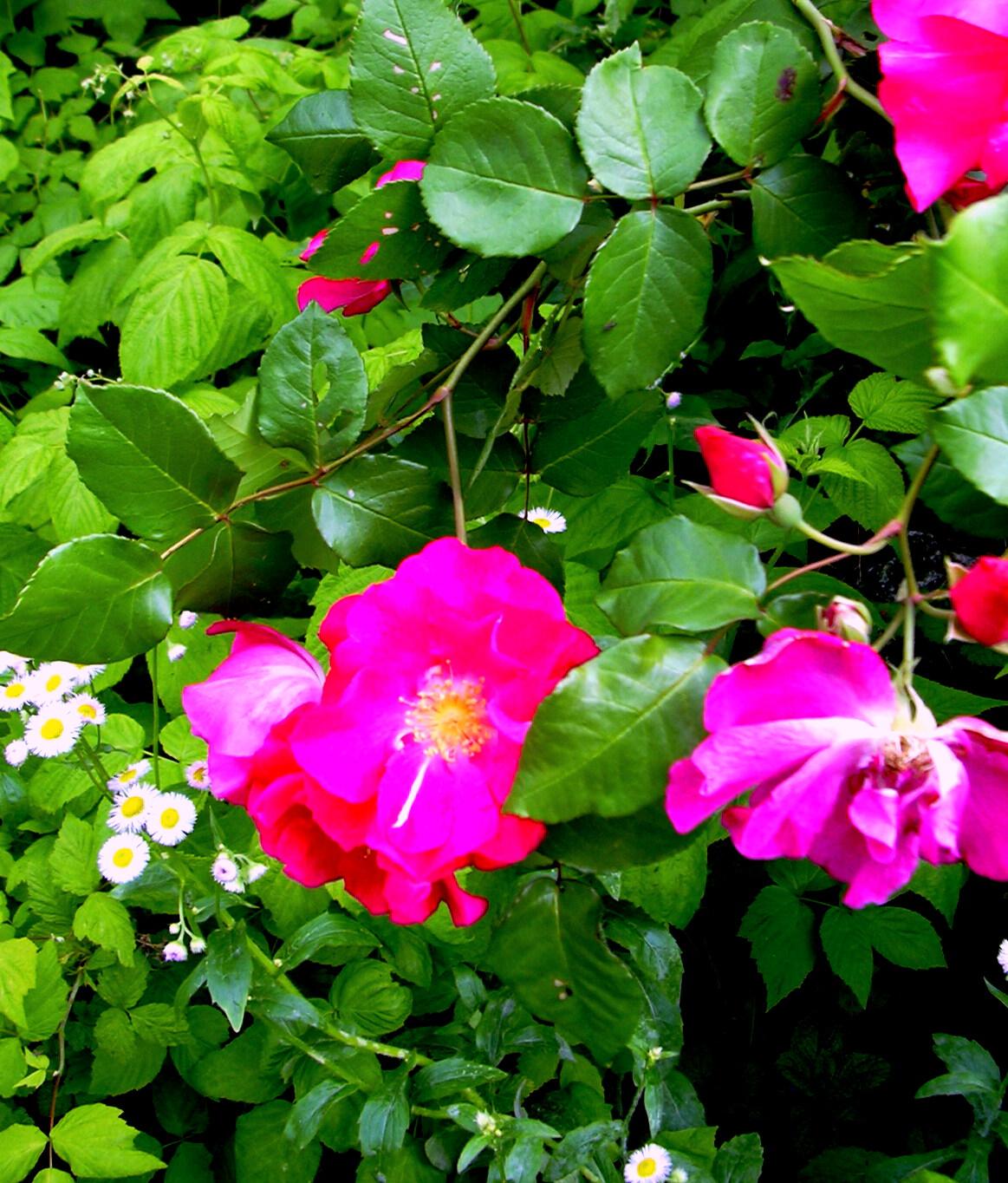 Saber más sobre rosas sin espinas