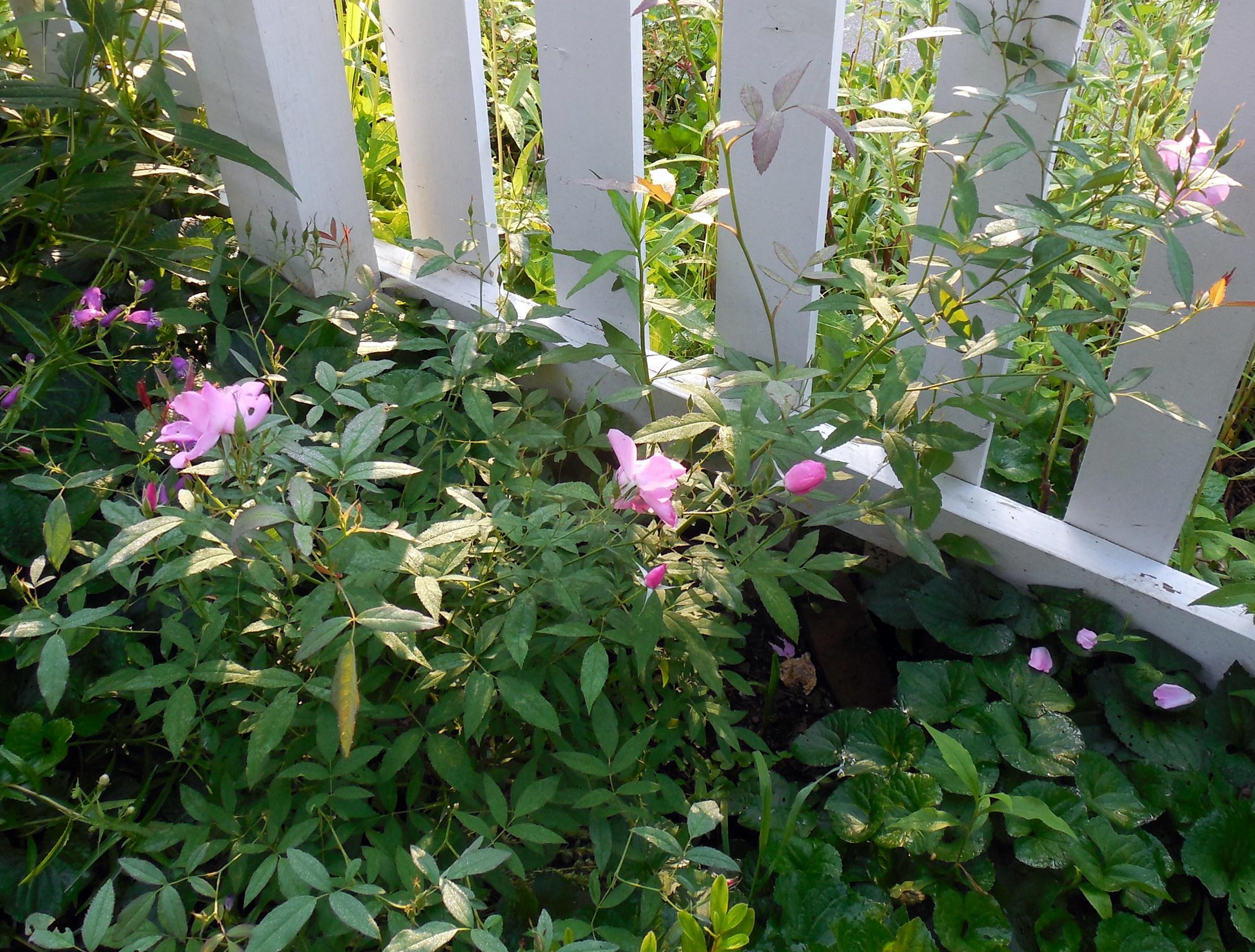 Rosas de otoño - Blithewold