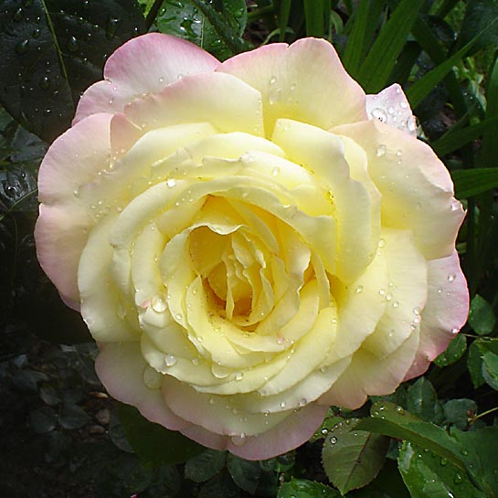 Rose.A.Mailend1